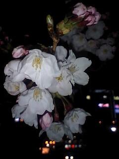 ケータイDE夜桜